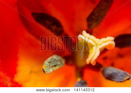 Close-up Tulip Of Anthers With Pollen Grains Of Red Tulip