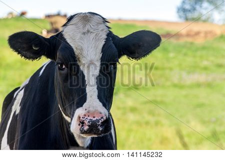 Holstein cattle in the pasture portrait closeup