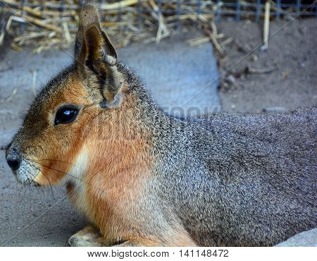 The Patagonian mara is a relatively large rodent in the mara genus. It is also known as the Patagonian cavy, Patagonian hare or dillaby.
