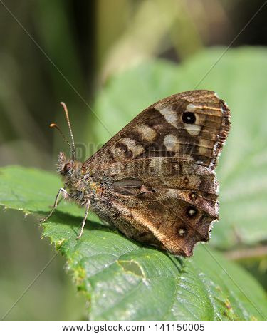 Speckled Wood butterfly (Pararge aegeria) from Durham, UK