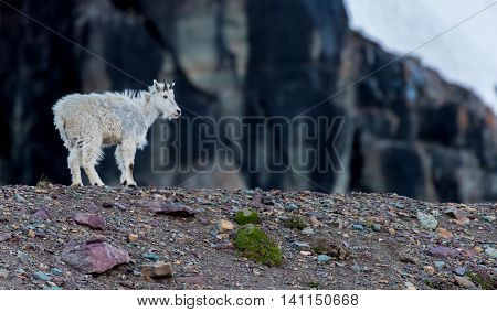 Young Mountain Goat Stands on Rocky Moraine in Montana's mountains
