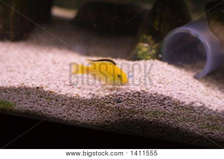 Yellow African Cichlid