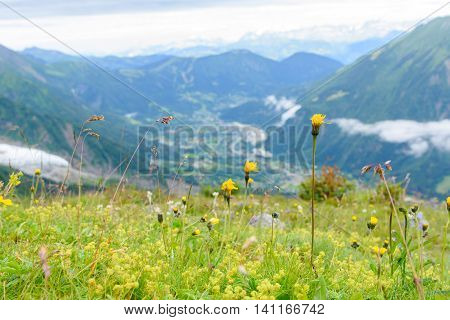 Flower At Mont Blanc