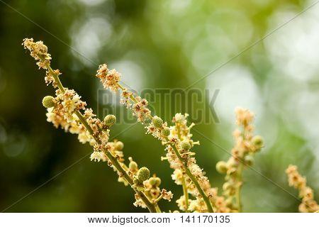 Close Up Of Longan Flower