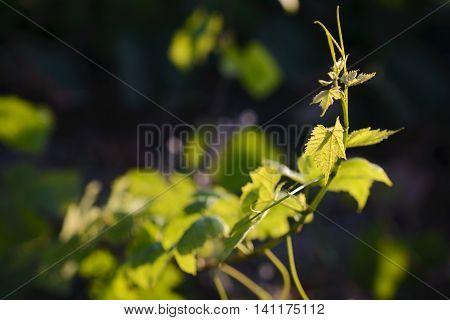 Vine Leaves With Morning Lights