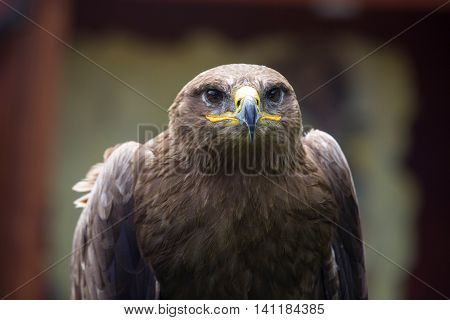 Steppe Eagle, Aquila Nipalensis, Detail Of Eagles Head.