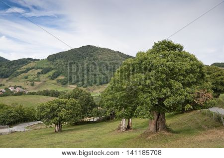Chestnut trees in Navarra countryside (Spain) with Berute village in the background
