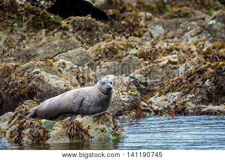 Spotted adult harbor resting on a rock shore near Ketchikan Alaska