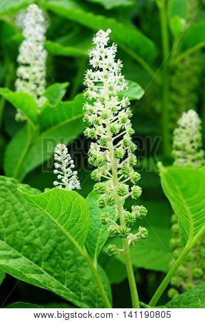 flowering inflorescence of indian poke in garden
