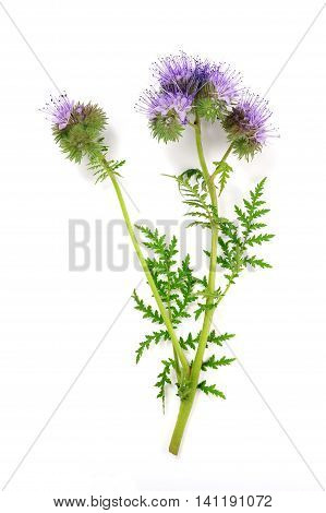 lacy phacelia blue tansy or purple tansy isolated over white background
