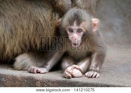 A Japanese monkey baby girl is sitting close to her mother