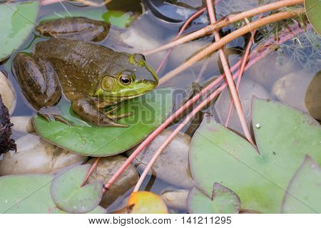 Bullfrog sitting in a swamp with lilly pads.
