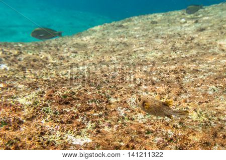 Puffer Fish in Similan Island snorkelling trips. Rock background for copy space.