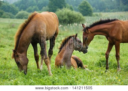 Three foals grazing in a meadow at summer time