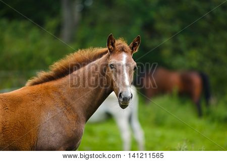 Portrait of the foal in a meadow summer time