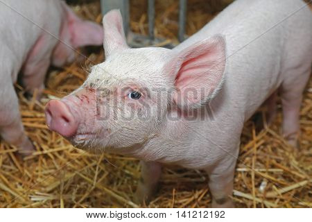 Close up Shot of Baby Piglet in Sty