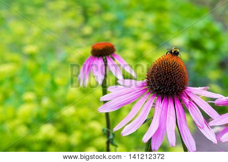 the big red flowers closeup on an indistinct green background and a little insect a bumblebee creeps on one flower