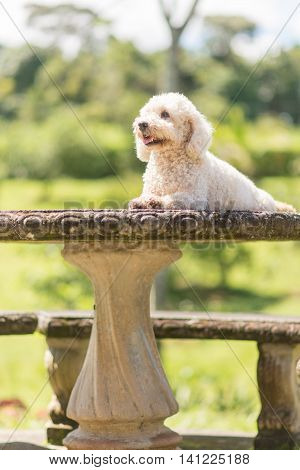 Bichon Frise dog resting on a concrete table
