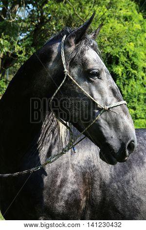 Head of an dark colored lipizzaner foal . Side view portrait of young dark lipizzaner foal