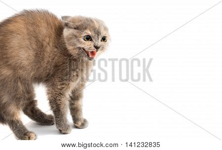 looking gray kitten on a white background