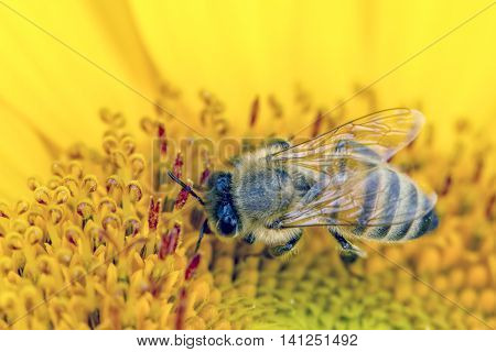 Bee gathers pollen. A close up of a bee gathering pollen from a sunflower.