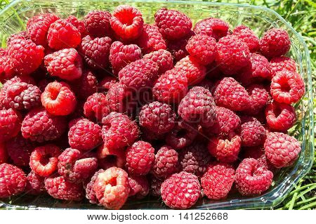 Freshly-picked fruits raspberries in a basket of half a kg on the lawn. Close-up Freshly-picked Raspberry Fruit in a Basket on the Lawn.