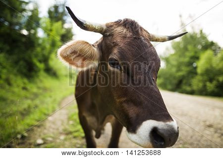 Brown cow on the country road close-up
