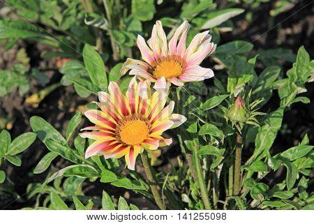Gazania Rigens Or Treasure Flowers In Summer Time