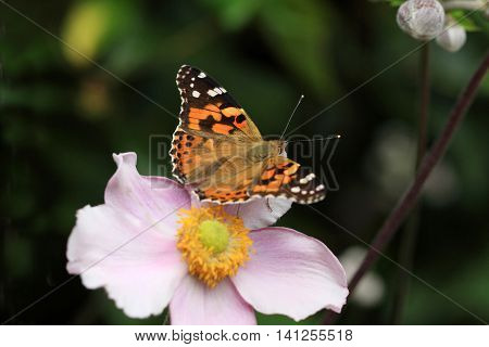 Thistle Butterflies (on a anemone flower) are large butterflies and their orange-black markings