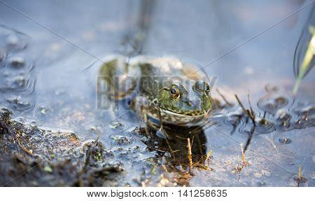American Bullfrog - Lithobates catesbeianus. Santa Clara County, California American Bullfrog or simply known as the bullfrog camouflaged in typical aquatic habitat.