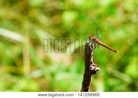 Big Yellow Dragonfly On A Dry Twig