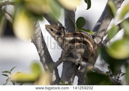 small chipmunk hiding in the foliage India