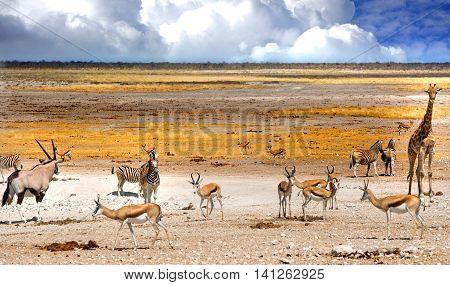 Busy waterhole in Etosha national park with Giraffe, springbok, Gemsbok Oryx and Zebra