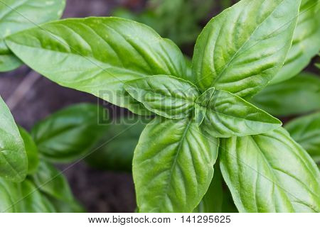 Sweet savory Genovese basil growing in the garden.