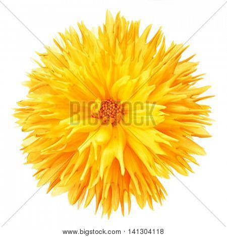 Frilly yellow dahlia on white.