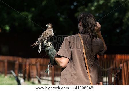 Trained falcon which is used in the sport of falconry hawk sits on a glove falconer.