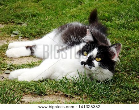 Photo of looking in faraway black white cat on grass