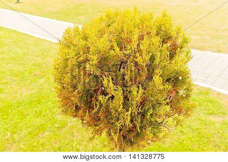 The Bush Of Evergreen Trees