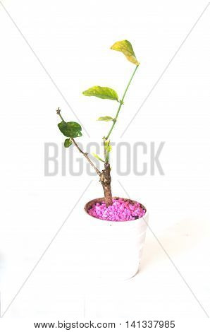 Young Seedlings Jasminum in a flowerpot on white