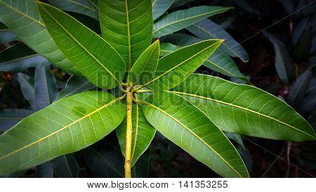 Bunch of green mango leaves Macro close up