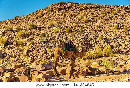 Bedouin camel rests in the ancient city of Petra, Jordan
