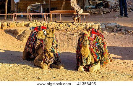 Bedouin camels rest in the ancient city of Petra, Jordan