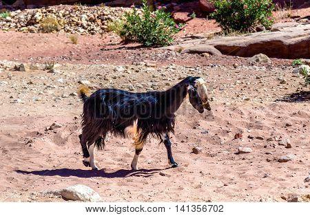 Brown Damascus Goat in the ancient city of Petra, Jordan