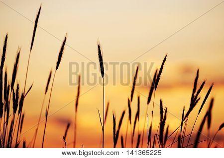foxtail grass against dusk sunlight sky, nature background
