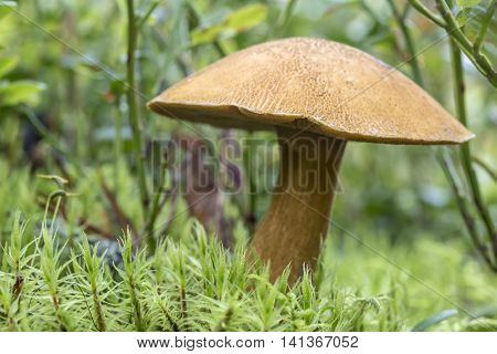 Edible mushroom (xerocomus subtomentosus) in the moss in a forest close-up