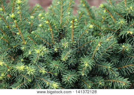 Close-up of spruce Picea glauca in the garden
