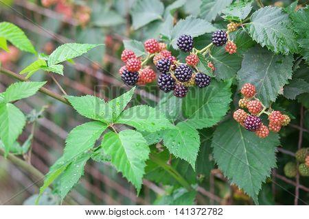Tasty berry of blackberries growing in the garden after rain