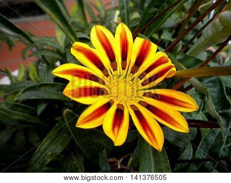 Fiore giallo con striature arancioni e rosse fuoco