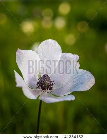 White spring...  Beautiful Anemone, photographed during the early spring at Megiddo, Armageddon district, Israel.