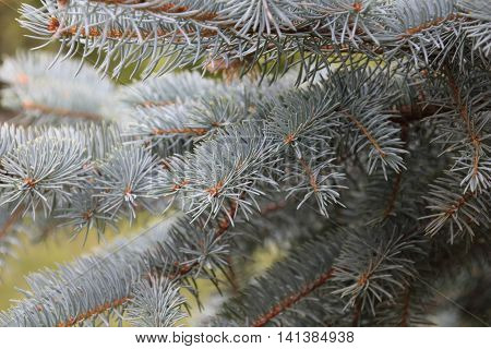 Blue spruce branches on a green background.The blue spruce green spruce white spruce.